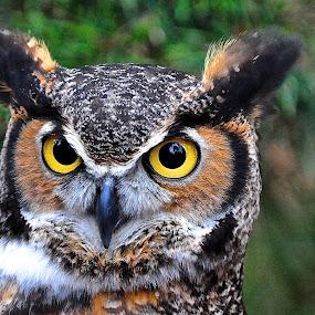 Ol' Big Eyes by Roy Walter - Animals Birds ( bird, animals, owl, feathers, great horned owl, eyes )