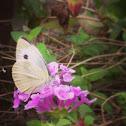 白粉蝶、紋白蝶、Small White、 Small Cabbage White、モンシロチョウ