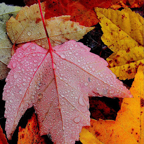Glorious fall colors again today by Liz Hahn - Nature Up Close Leaves & Grasses ( fall leaves on ground, fall leaves,  )