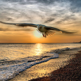 free by Shaheen Razzaq - Animals Birds ( bird, flying, brighton beach, eagul, beach )