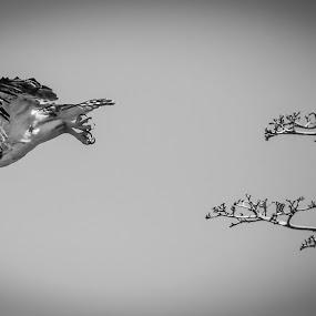 Dash by Jared Lantzman - Black & White Animals ( bird, birds, hawk,  )