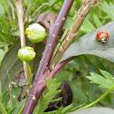 spotless ladybug