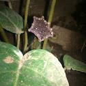Congo Fig