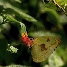 Lemon Emigrant - female