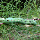 Tersa Sphinx Moth Larva