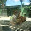 Lion :)