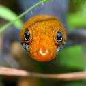 Red headed gecko
