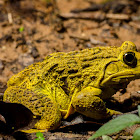 Indian bull frog