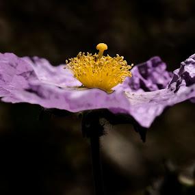 laden turkey by Ahmet Güler - Nature Up Close Flowers - 2011-2013 ( flower-laden turkey, , purple, yellow, color )