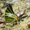 Five-bar Swordtail