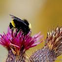 California bumblebee