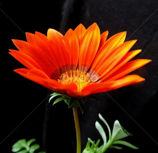 Pretty Orange Flower Single Flower Flowers Pixoto