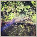 Eastern cape dwarf chameleon