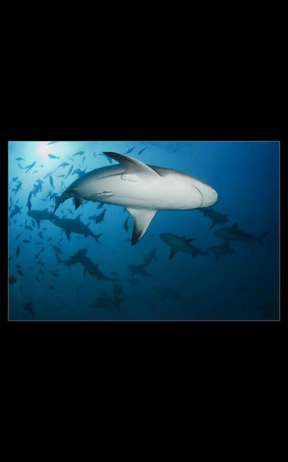 live shark wallpaper - photo #26