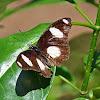 Danaid eggfly (male)
