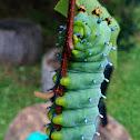 Cecropia moth (larva)