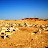arabian oryx and gazelles