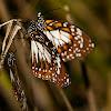 Swamp Tiger Butterflies