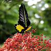The Southern Birdwing (male)