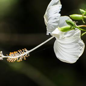 by Arcelous Lu - Flowers Single Flower (  )