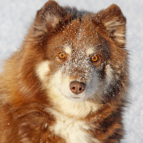 How about another meatball? by Mia Ikonen - Animals - Dogs Portraits ( canine, finnish lapphund, winter, cold, pet, snow, focused, finland, cute, dog, mia ikonen )