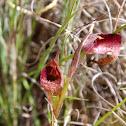 Serapia orientalis (Σεράπια η ανατολική)