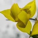 Yellow Globe Lily, Golden Fairy Lantern, Diogenes' Lantern, Lovely Mariposa Lily