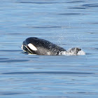 Transient Orca whale/Killer whale