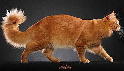 female orange maine coon cat