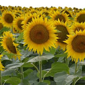 Sunflowers by Shannon Maltbie-Davis - Flowers Flowers in the Wild ( field, sunflowers, yellow, , Flowers, Flower Arrangements )