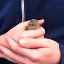 House Sparrow (female)