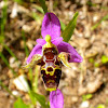 Woodcock Bee-orchid