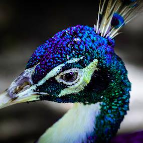 Peacock by Michelle Nolan - Animals Birds ( bird, florida, seashell factory, cape coral, animal,  )