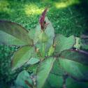 Hybrid pink tea rose