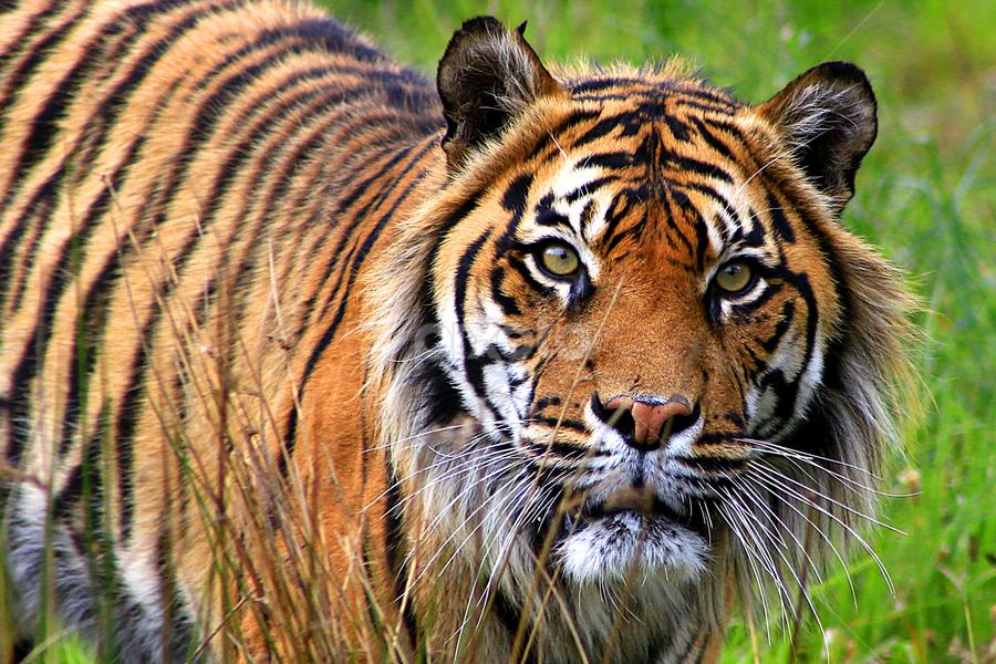Sumatran Tiger by Phil Le Cren - Animals Lions, Tigers & Big Cats ( big cat, cat, tiger, orana wildlife park, sumatran tiger, animal,  )