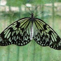 Paper Kite, Rice Paper, or Large Tree Nymph