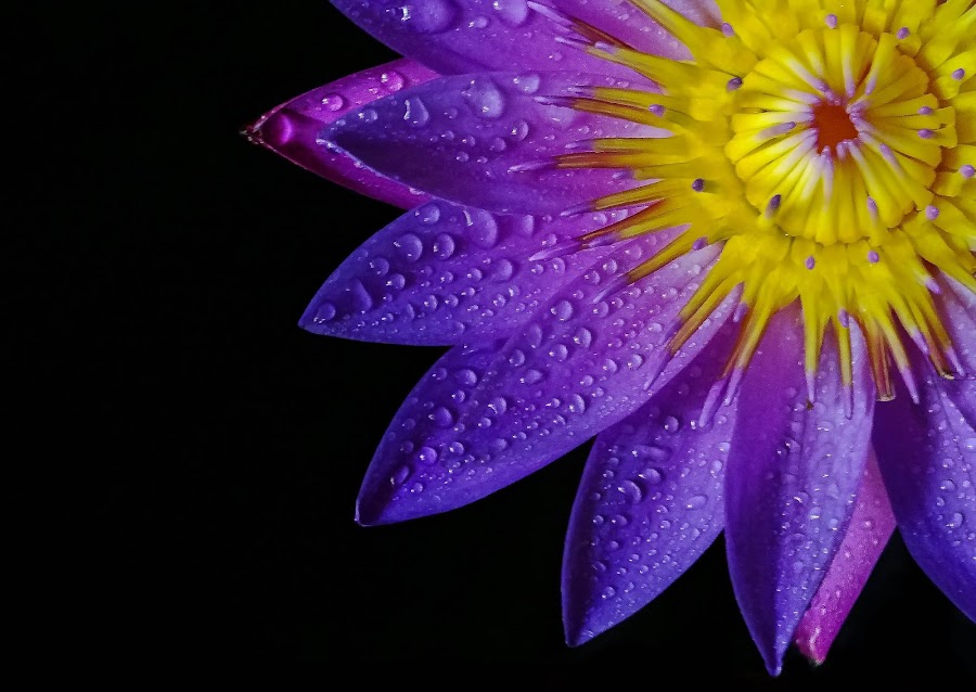 Purple Lotus by MaSs Balasooriya - Flowers Single Flower ( water, phone, water drops, single, purple, dew, beautiful, beauty, yellow, photography, mobilography, lotus, color, blue, mobile photos, raindrops, flowers, lotus flower, rain, mobile,  )