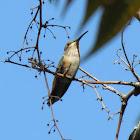 Hummingbird (Female)