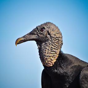 Vultures by Thiago Silva - Animals Birds (  )
