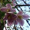 Clemátide de Virginia, cola de ardilla, enredadera andaluza, hierba muermera, plumajes andaluces, vidriera.