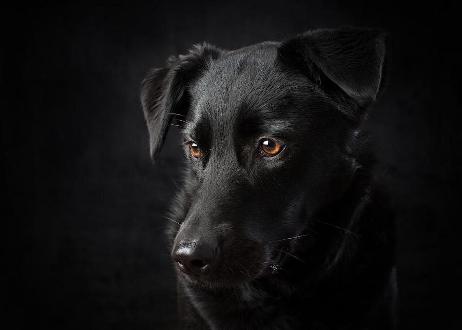 Family Dog Portrait by Michelle McClafferty - Animals - Dogs Portraits ( studio, pet, michelle mcclafferty, raleigh newborn photography, dog, labrador, mutt, portrait, black, animal,  )