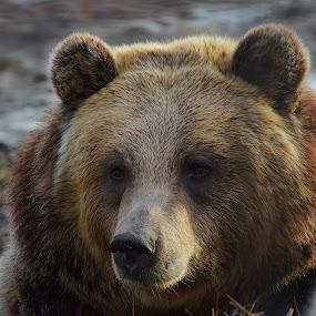 Da Bear by Dustin White - Animals Other Mammals ( bear, brown, close up, large, mammal,  )