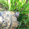Rescued Tortoise
