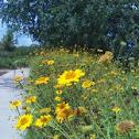 Golden Marguerite / Yellow Chamomile