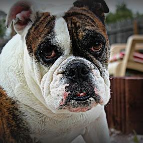 Kyah by Toni Haas - Animals - Dogs Portraits ( bulldog, brindle,  )