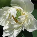 Lotus seed pod & flower