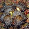 Bean Coral