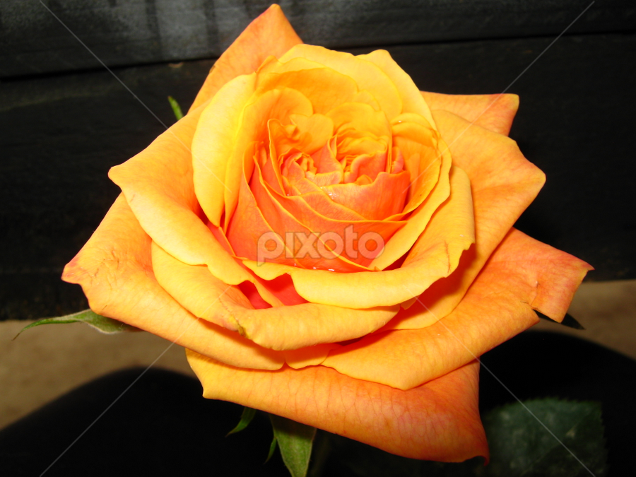 Champagne  by Janet Locke - Flowers Single Flower
