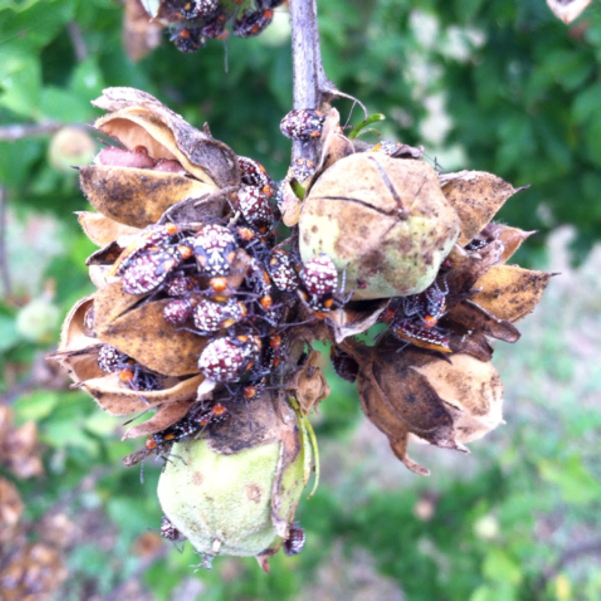 Scentless plant bugs (nymphs)