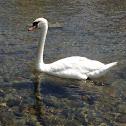 Mute swan - Cigno reale